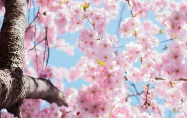 Photo of Cherry Blossom Spring tree